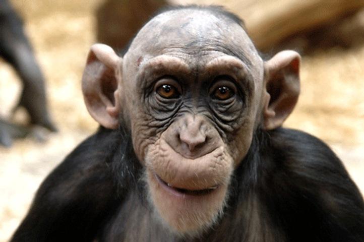 Mamíferos: Primatas Imagem captada no Zoo de Tygerberg